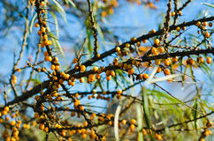 Sea-buckthorn fruit on a tree Stock Images