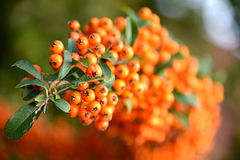 Sea buckthorn fruits. Hippophae Rhamnoides Royalty Free Stock Images