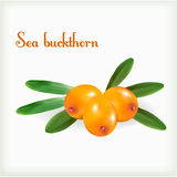 Sea buckthorn with green leaves Royalty Free Stock Images