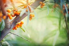 Free Sea Buckthorn Growing On A Tree Closeup Stock Photography - 103777052
