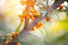 Sea buckthorn growing on a tree closeup. Hippophae rhamnoides Royalty Free Stock Photos