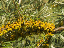 Sea buckthorn Hippophae berries riping on branch, close-up, selective focus, shallow DOF Royalty Free Stock Image