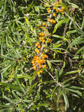Sea buckthorn or Hippophae berries riping on branch, close-up, selective focus, shallow DOF Stock Photo