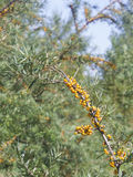 Sea buckthorn or Hippophae berries riping on branch, close-up, selective focus, shallow DOF Royalty Free Stock Images