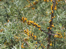 Sea buckthorn or Hippophae berries riping on branch, close-up, selective focus, shallow DOF Stock Image