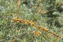 Sea buckthorn or Hippophae berries riping on branch, close-up, selective focus, shallow DOF Royalty Free Stock Photos