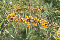 Sea buckthorn or Hippophae berries riping on branch, close-up, selective focus, shallow DOF Stock Photos