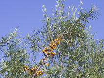 Sea buckthorn or Hippophae berries riping on branch, close-up, selective focus, shallow DOF Royalty Free Stock Image