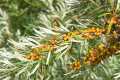 Sea buckthorn Hippophae berries riping on branch, close-up, selective focus, shallow DOF Stock Photography
