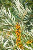 Sea buckthorn Hippophae berries riping on branch, close-up, selective focus, shallow DOF Stock Images