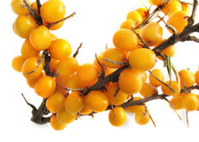 Sea buckthorn, Hippophae rhamnoides Royalty Free Stock Photos