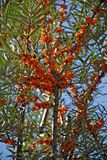 Sea buckthorn. Hippophae rhamnoides. Royalty Free Stock Image