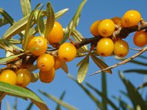Sea buckthorn (Hippophae rhamnoides) Stock Photos
