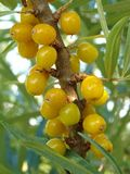 Sea buckthorn (Hippophae rhamnoides) Royalty Free Stock Photos
