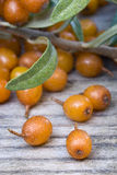 Sea buckthorn (Hippophae rhamnoides) barries. Royalty Free Stock Photos