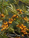 Sea buckthorn ( Hippophae rhamnoides ) Stock Photography