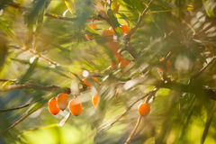 Sea buckthorn / Hippophae rhamnoides Stock Images