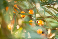 Sea buckthorn / Hippophae rhamnoides Royalty Free Stock Photos