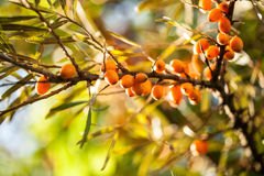 Sea buckthorn / Hippophae rhamnoides Stock Photo