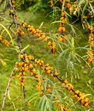 The sea buckthorn - Hippophae rhamnoides at garden Royalty Free Stock Images