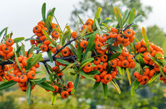 Sea Buckthorn - Hippophae rhamnoides. Stock Photo