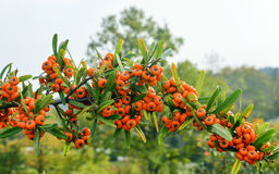 Sea Buckthorn - Hippophae rhamnoides. Stock Photography