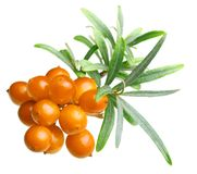 Sea buckthorn isolated Stock Photo