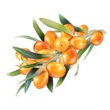 Sea buckthorn isolated on the white. Vector illustration in 3d style.  Royalty Free Stock Images