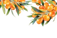 Sea buckthorn isolated on the white. Vector illustration in 3d style. The concept of realistic image of medical plants Royalty Free Stock Image