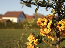 Sea buckthorn, just reached and it`s time to harvest stock photography
