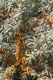Sea buckthorn Stock Photo