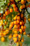 Sea-buckthorn Royalty Free Stock Image