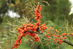 Sea buckthorn plant with fruits Royalty Free Stock Photos
