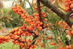 Sea buckthorn plant with fruits Royalty Free Stock Photography