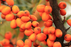 Sea buckthorn plant with fruits Stock Images