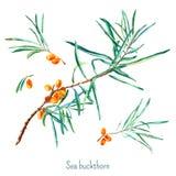Sea buckthorn postcard. Stock Photos