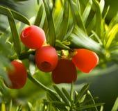 Sea-buckthorn red berries royalty free stock image