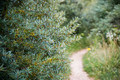 Sea buckthorn. Bushes and tight path royalty free stock photography