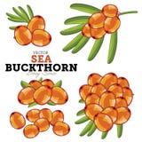 Sea Buckthorn Set, Vector. Stock Images