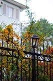 Sea-buckthorn spreads along the iron fence stock photography
