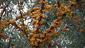 Sea buckthorn tree branches with orange fruit and green leaves. Nature footage of sea buckthorn tree branches with bright orange berries stock video
