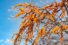 Sea-buckthorn tree brunch Royalty Free Stock Image