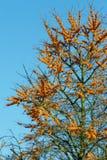 Sea buckthorn tree Stock Photography
