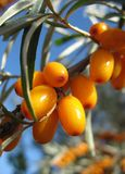 Sea-buckthorn twig stock photos