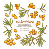 Sea buckthorn vector set. On white background Royalty Free Stock Photos