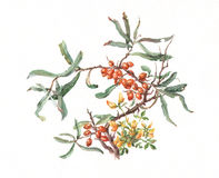 Sea-buckthorn watercolor painting. Sea-buckthorn hand painted in watercolor Royalty Free Stock Photos
