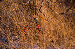 Sea buckthorn in winter Stock Images