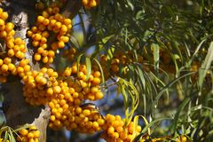 Sea buckthorn. stock images