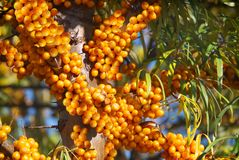 Sea buckthorn. royalty free stock photos