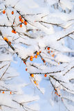 Sea-buckthorns (Hippophae) Stock Image